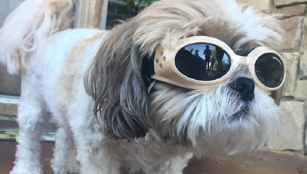 Jax, el perro con cataratas que lleva gafas
